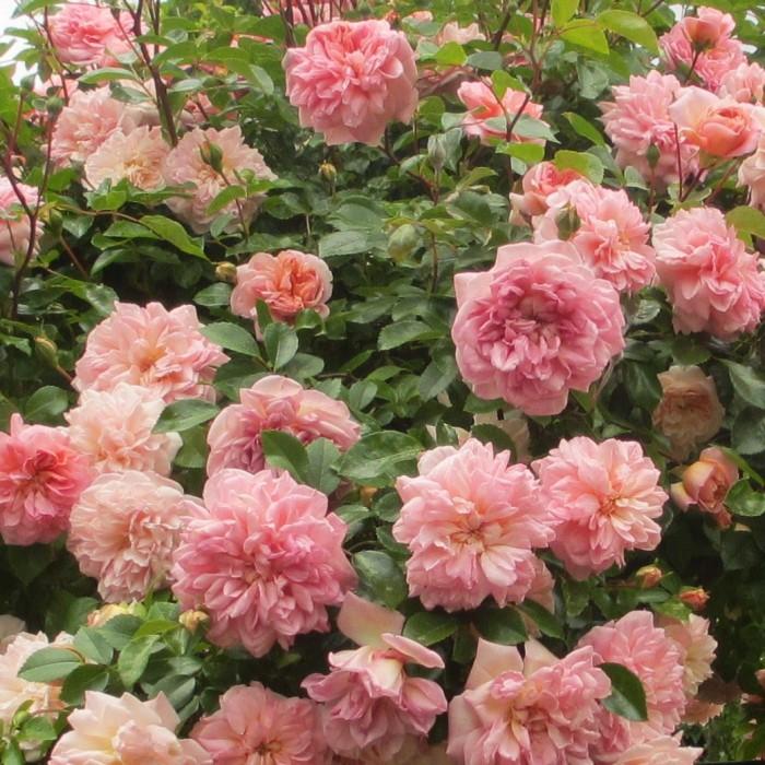 Roses_Garden_DebbieCooke.com