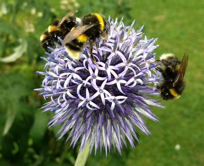 Echinops_Bees_Wildlife_DebbieCooke.com