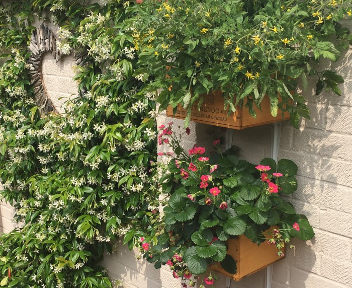 Small_Space_Gardening_Strawberries_and_Tomatoes_and _Jasmine_DebbieCooke.com