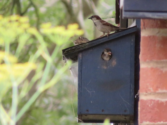 Young_Sparrow_At_Entrance_Both_Parents